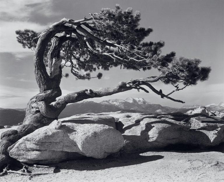History of Landscape Photography Jeffrey Pine Sentinel Dome Yosemite by Ansel Adams