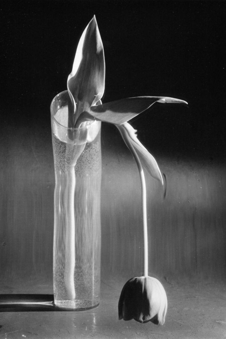 Melancholic Tulip (1939) © Andre Kertesz