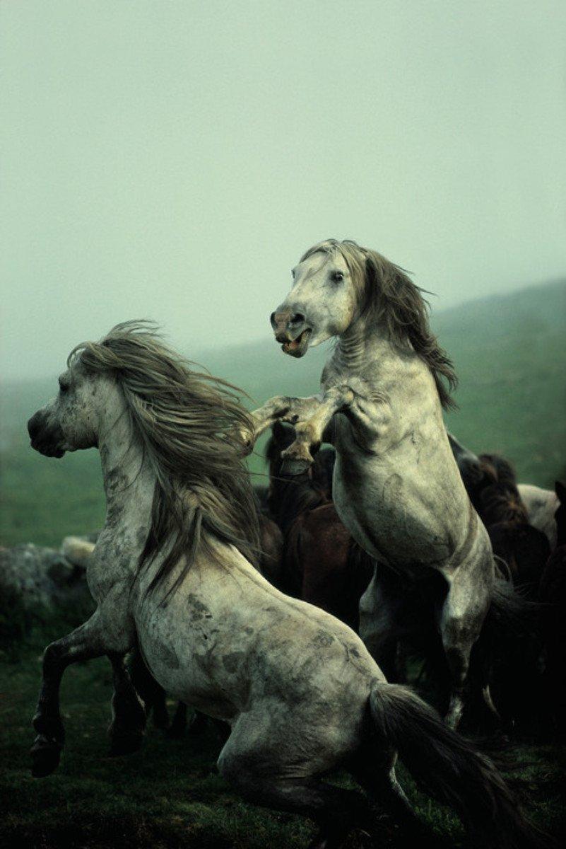 ESPAGNE. Galice. 1977. Rassemblement des chevaux sauvages. © David Alan Harvey