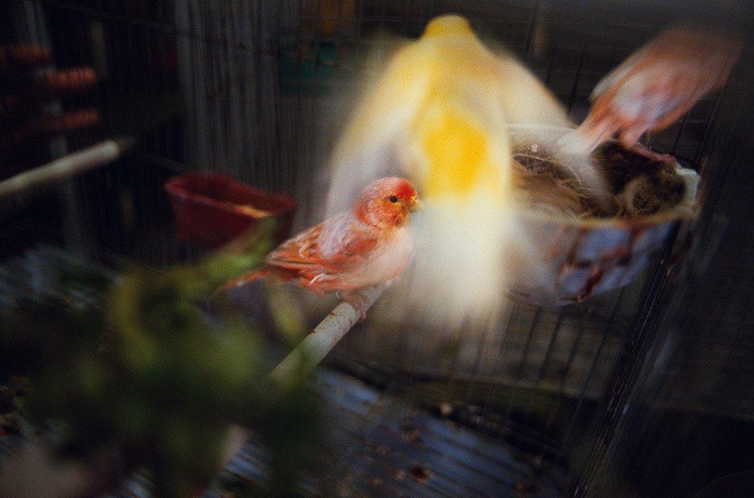 Oiseaux en cage, Cuba 2008 © Rebecca Norris Webb
