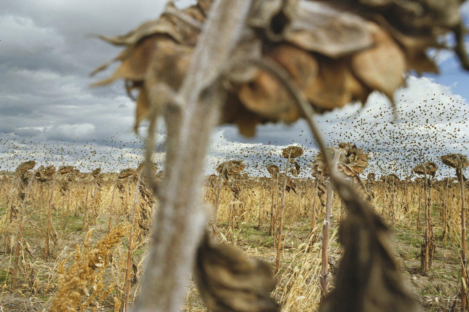 Mirlos. Cerca de Grey Goose, Dakota del Sur, EE. UU. 2006 © Rebecca Norris Webb