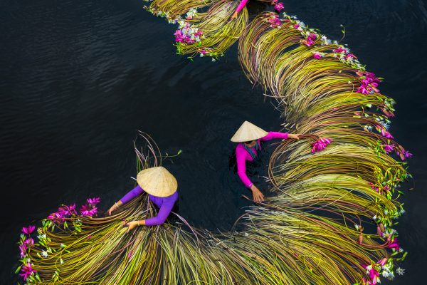 Colorful Waterlilies harvesting season in the Mekong Delta in Vietnam. Photograph by Trung Pham Huy
