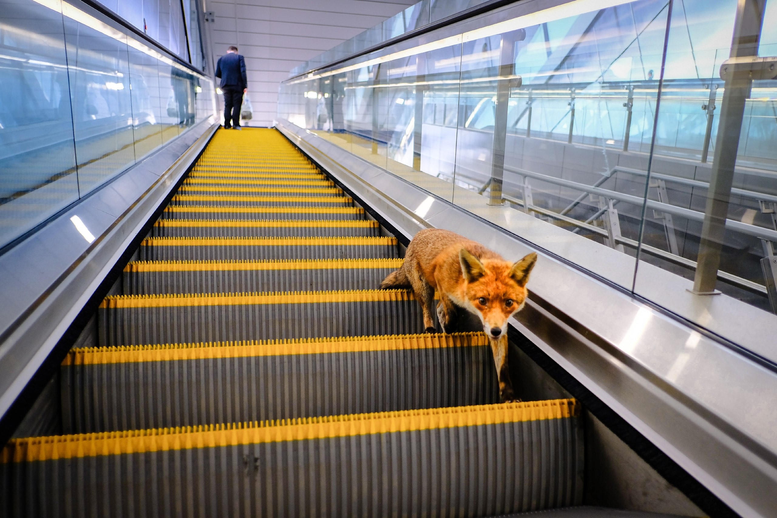 Color photograph of fox on escalator by Sam Rodgers