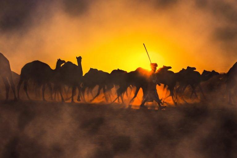 Photographie couleur, coucher de soleil et un berger et son troupeau à Pushkar fair India, par Anant Shaktipandey