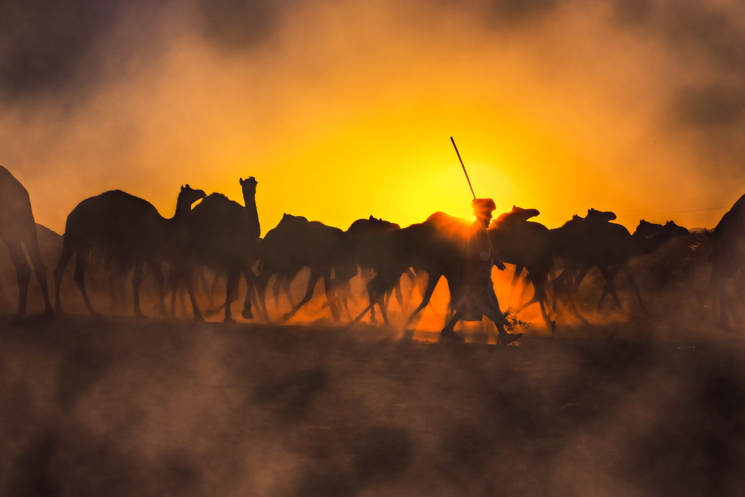 Photographie couleur, coucher de soleil et un berger et son troupeau à Pushkar fair India, par Anant Shaktipandey