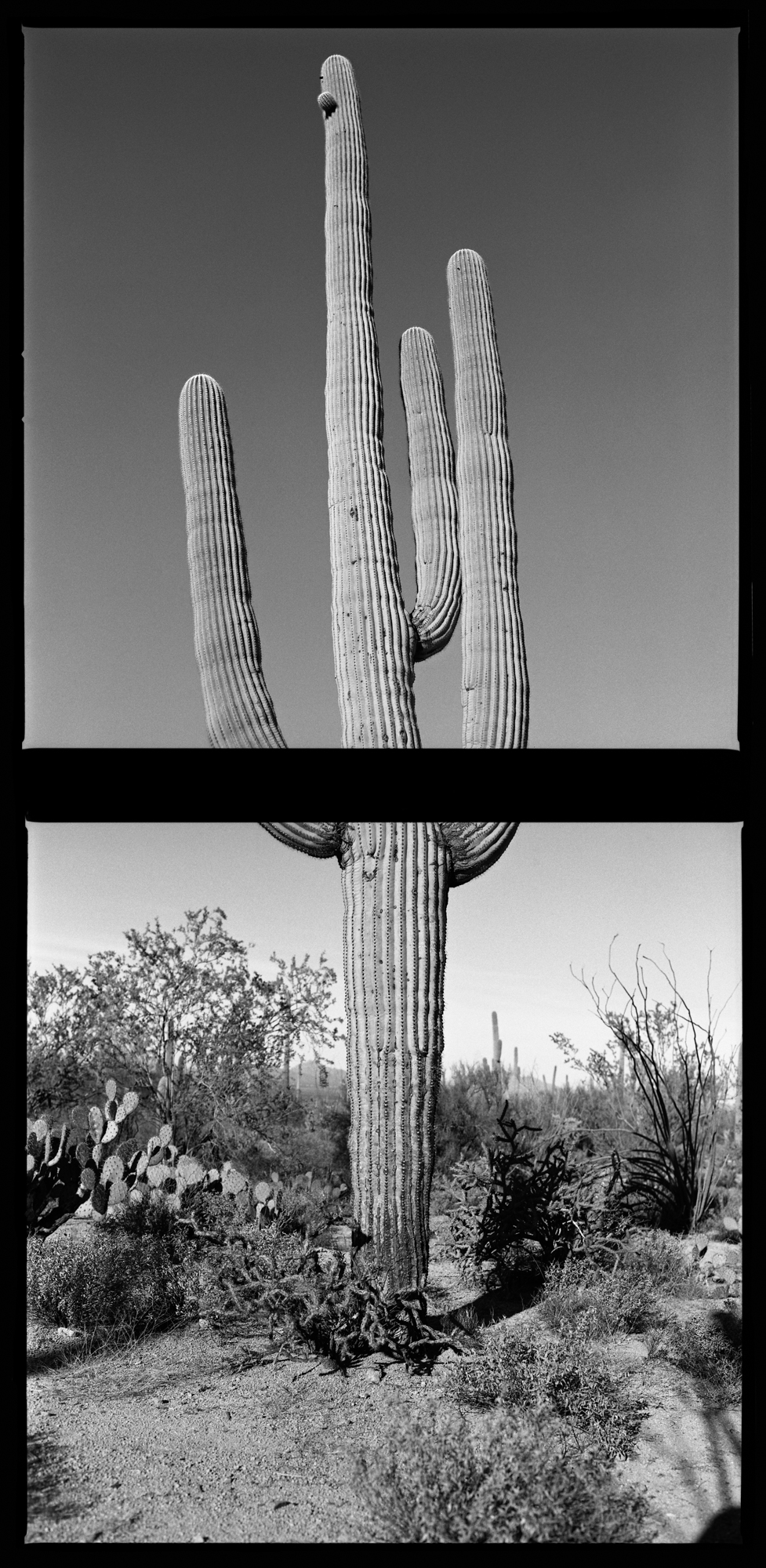 Black and white photograph, 35mm, landscape, cactus