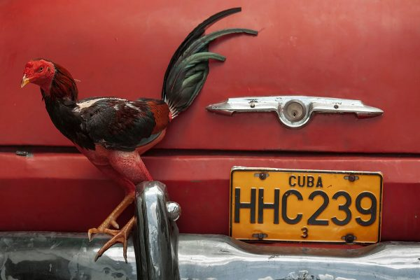 Color photo by Alex Almeida, cockerel and vintage red car Cuba.