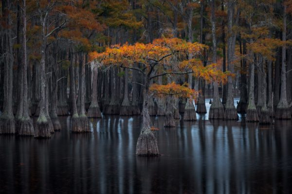 lanscape color photograph of a cypress tree in Florida, USA by Donald Pelliccia