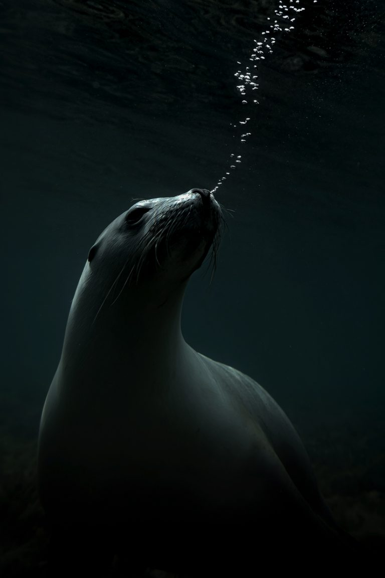 Color marine photography by Matthew Bagley. Sea Lion blowing bubbles, Ocean, fine art, underwater