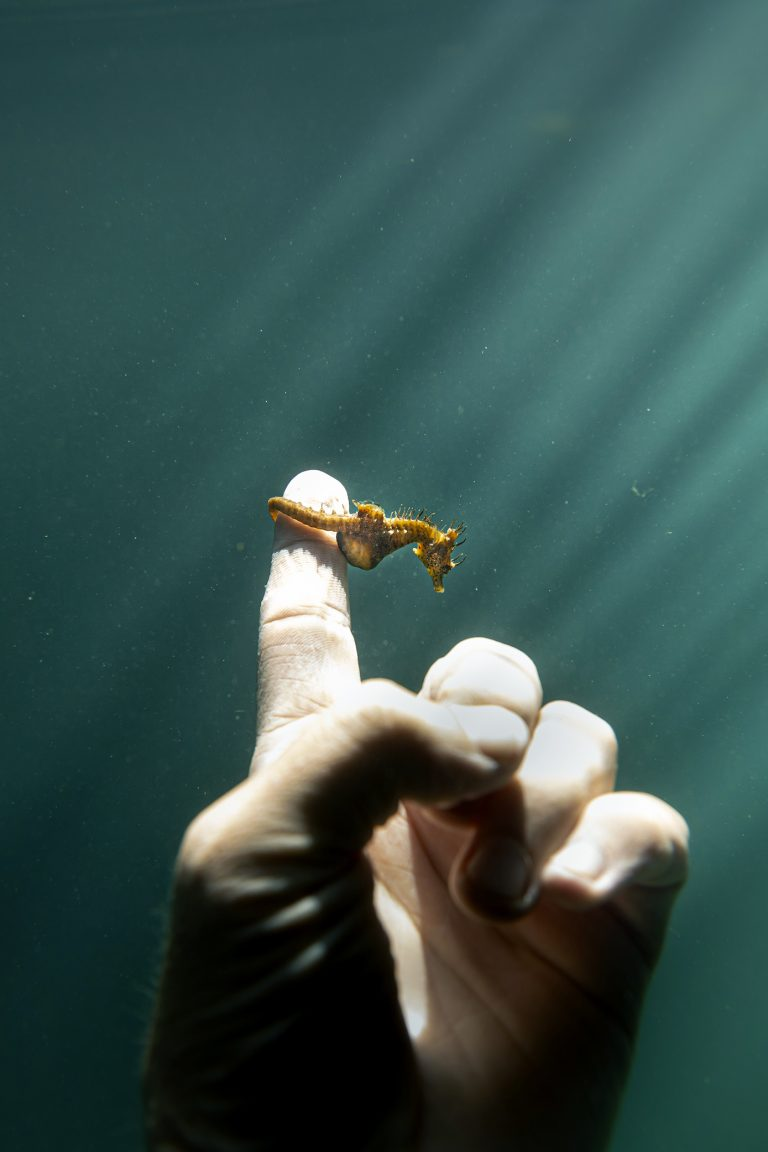 Color underwater photography by Matthew Bagley. Tiny sea horse, hand, finger, ocean, light, fine art, marine