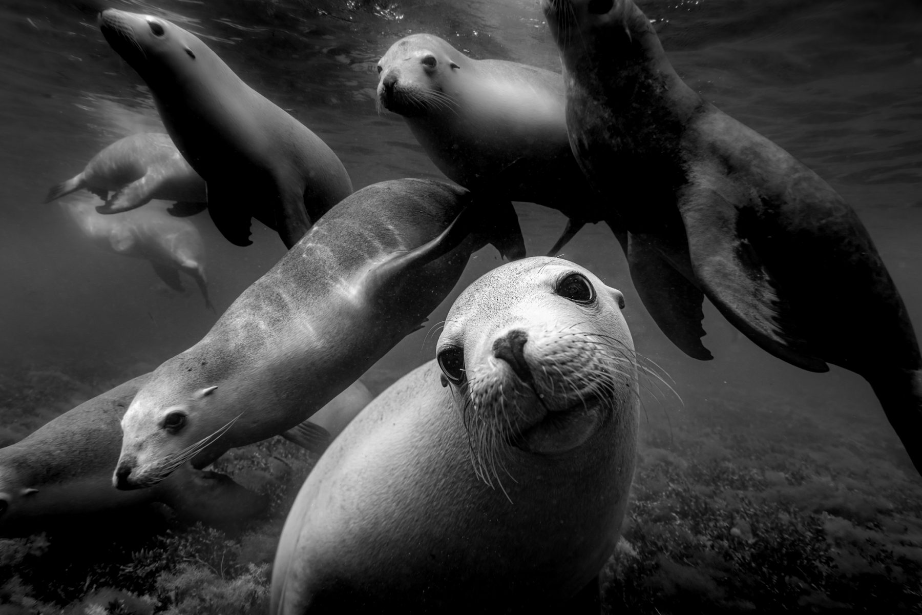 Black and white underwater photography by Matthew Bagley. Sea lions, ocean, marine