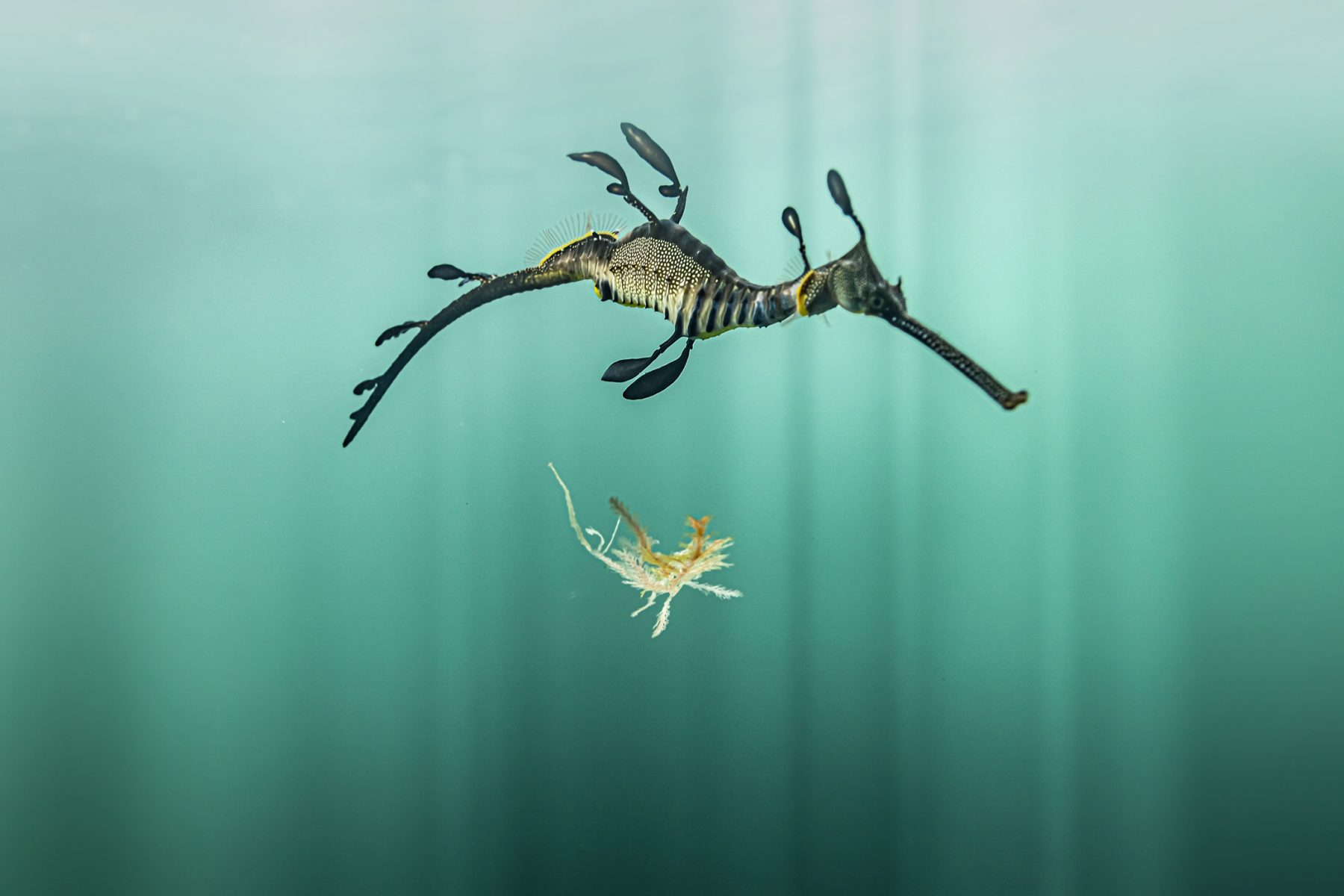 The Beauty of the Underwater World - Color underwater photography by Matthew Bagley. Sea Horse, Seaweed, Ocean, Marine