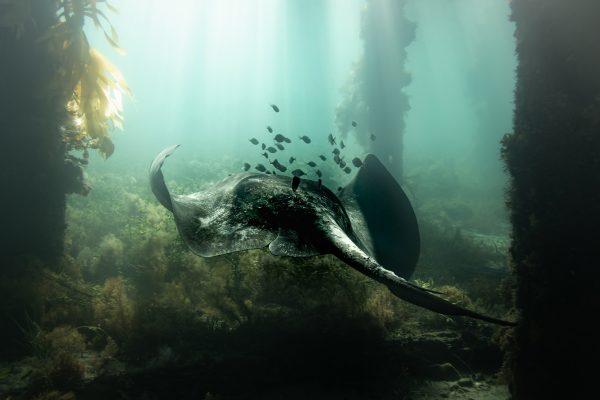 Fotografía submarina en color de Matthew Bagley. Ray, Submarino, Océano, Algas